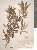 view Salix fragilis L. x S. alba var. excelsior digital asset number 1