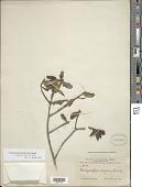 view Acrosynanthus latifolius Standl. digital asset number 1