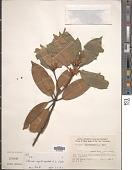view Illicium angustisepalum A.C. Sm. digital asset number 1