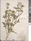view Cleome lutea subsp. lutea digital asset number 1