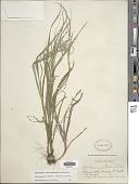 view Rhynchospora watsonii (Britton) Davidse digital asset number 1