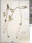 view Anemone narcissiflora var. alaskana (Hultén) B. Boivin digital asset number 1