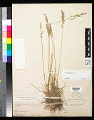 view Poa secunda subsp. secunda var. scabrella (Thurb.) Soreng digital asset number 1