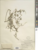 view Tephrosia luzoniensis Vogel digital asset number 1