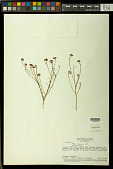 view Polygala longicaulis Kunth digital asset number 1