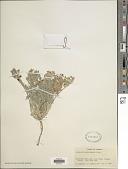 view Astragalus pephragmenus M.E. Jones digital asset number 1