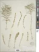 view Equisetum pratense Ehrh. digital asset number 1