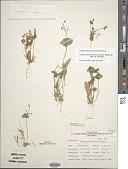 view Claytonia parviflora subsp. utahensis (Rydb.) John M. Mill. & K.L. Chambers digital asset number 1