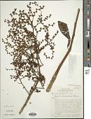 view Eirmocephala cainarachiensis (Hieron.) H. Rob. digital asset number 1
