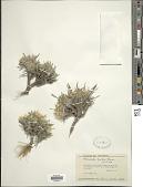 view Townsendia hookeri Beaman digital asset number 1