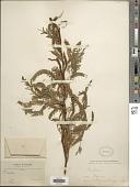view Prosopis chilensis digital asset number 1