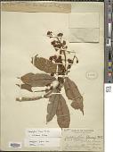 view Calophyllum blancoi Planch. & Triana digital asset number 1