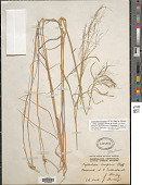 view Dinebra decipiens subsp. asthenes (Roem. & Schult.) P.M. Peterson & N. Snow digital asset number 1