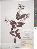 view Hirtella racemosa var. hexandra (Willd. ex Roem. & Schult.) Prance digital asset number 1