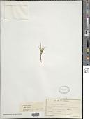 view Carex hectori Petrie digital asset number 1