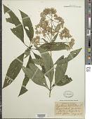 view Eupatorium purpureum (L.) E.E. Lamont digital asset number 1