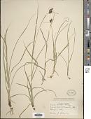 view Carex hirsutella Mack. digital asset number 1