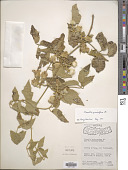 view Clematis grewiiflora DC. digital asset number 1
