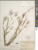 view Dichanthelium acuminatum var. lindheimeri (Nash) Gould & C.A. Clark digital asset number 1