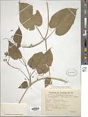 view Amblystigma cionophorum (Griseb.) E. Fourn. digital asset number 1