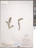 view Elodea granatensis Humb. & Bonpl. digital asset number 1