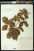 view Serjania dentata (Vell.) Radlk. digital asset number 1