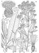 view Anteremanthus hatschbachii H. Rob. digital asset number 1