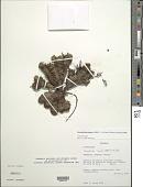 view Xenophyllum humile (Kunth) V.A. Funk digital asset number 1
