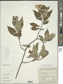 view Varronia leucocephala (Moric.) J.S. Mill. digital asset number 1