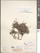 view Tillandsia virescens Ruiz & Pav. digital asset number 1