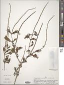 view Stachytarpheta cayennensis (Rich.) Vahl digital asset number 1