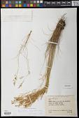 view Rhynchospora elegantula Maury digital asset number 1