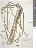 view Carex filicina Nees digital asset number 1