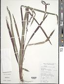 view Calyptrocarya bicolor (H. Pfeiff.) T. Koyama digital asset number 1