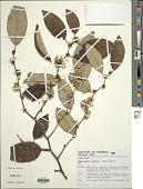 view Piptocarpha oblonga (Gardner) Baker digital asset number 1