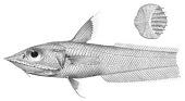 view Coelorhynchus carinifer Gilbert & Hubbs digital asset number 1