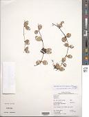 view Peperomia quadrangularis (J.V. Thomps.) A. Dietr. digital asset number 1