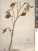 view Alnus serrulata var. vulgaris digital asset number 1