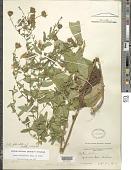 view Symphyotrichum phlogifolium (Muhl. ex Willd.) G.L. Nesom digital asset number 1