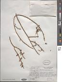 view Phoradendron californicum Nutt. digital asset number 1