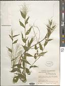 view Panicum trichoides Sw. digital asset number 1
