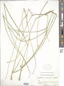 view Leptadenia spartium Wight digital asset number 1