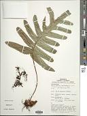 view Phlebodium aureum (L.) J. Sm. digital asset number 1