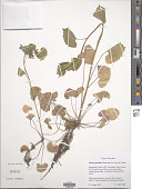 view Alliaria petiolata (M. Bieb.) Cavara & digital asset number 1