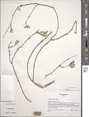 view Schiedea salicaria Hillebr. digital asset number 1