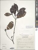 view Cordiera elliptica (Cham.) Kuntze digital asset number 1