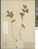 view Uvularia perfoliata L. digital asset number 1