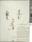 view Myosotis alpestris F.W. Schmidt digital asset number 1