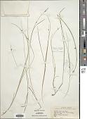 view Scleria pauciflora Muhl. ex Willd. digital asset number 1