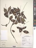 view Peperomia blanda (Jacq.) Kunth digital asset number 1